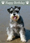 Miniature Schnauzer-Happy Birthday (No Theme)